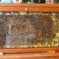 honeybee (4)